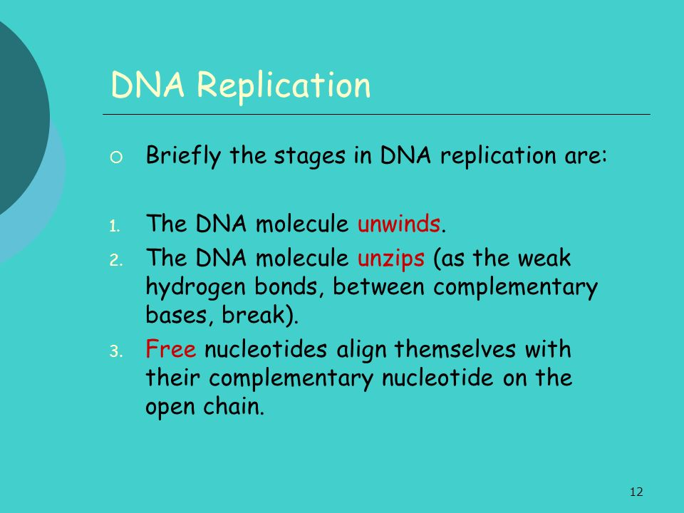 DNA Replication Briefly the stages in DNA replication are: