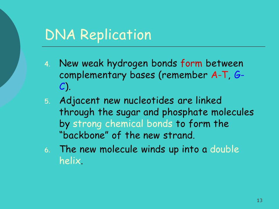 DNA Replication New weak hydrogen bonds form between complementary bases (remember A-T, G-C).