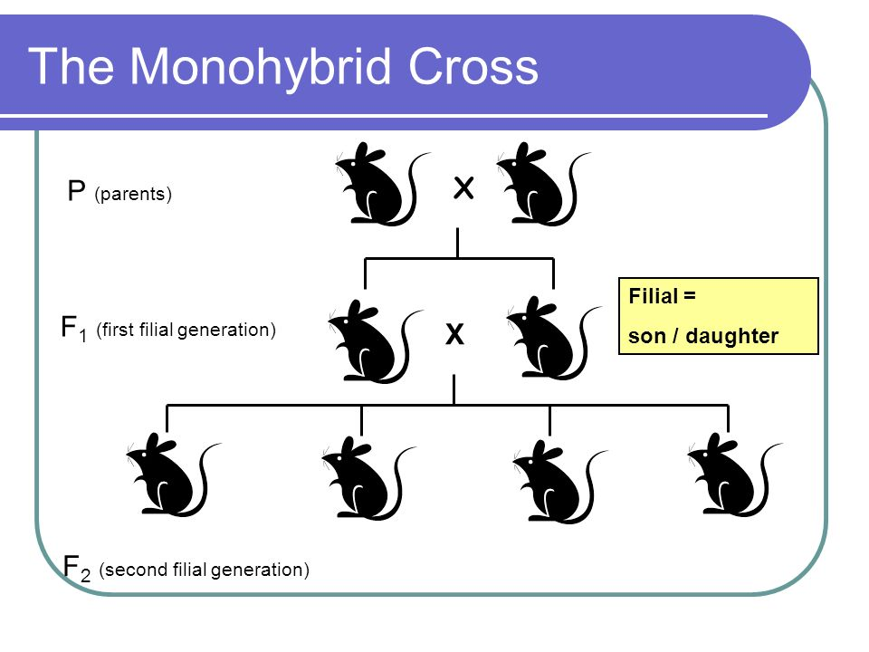 The Monohybrid Cross P (parents) X F1 (first filial generation)
