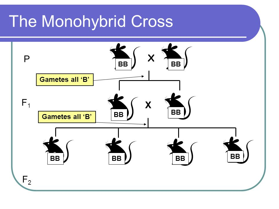 The Monohybrid Cross P X F1 X F2 BB BB Gametes all 'B' BB BB