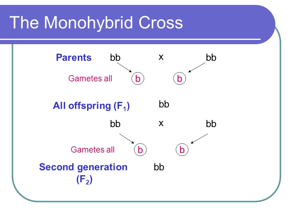 The Monohybrid Cross bb Parents x b All offspring (F1) bb bb x b