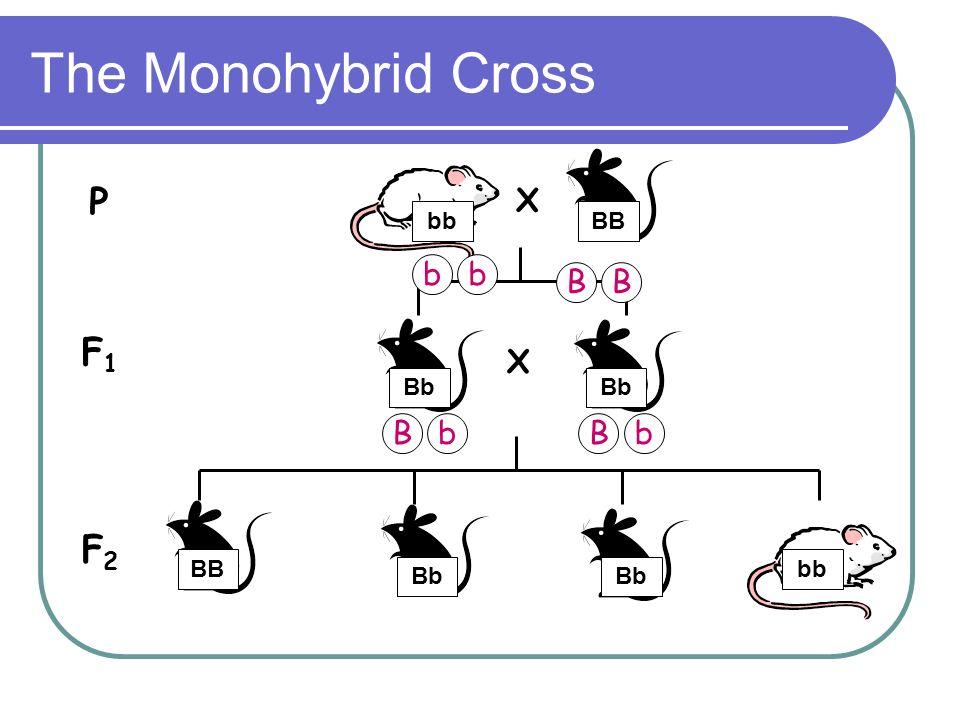 The Monohybrid Cross P F1 F2 X X b b B B B b B b bb BB Bb Bb BB bb Bb