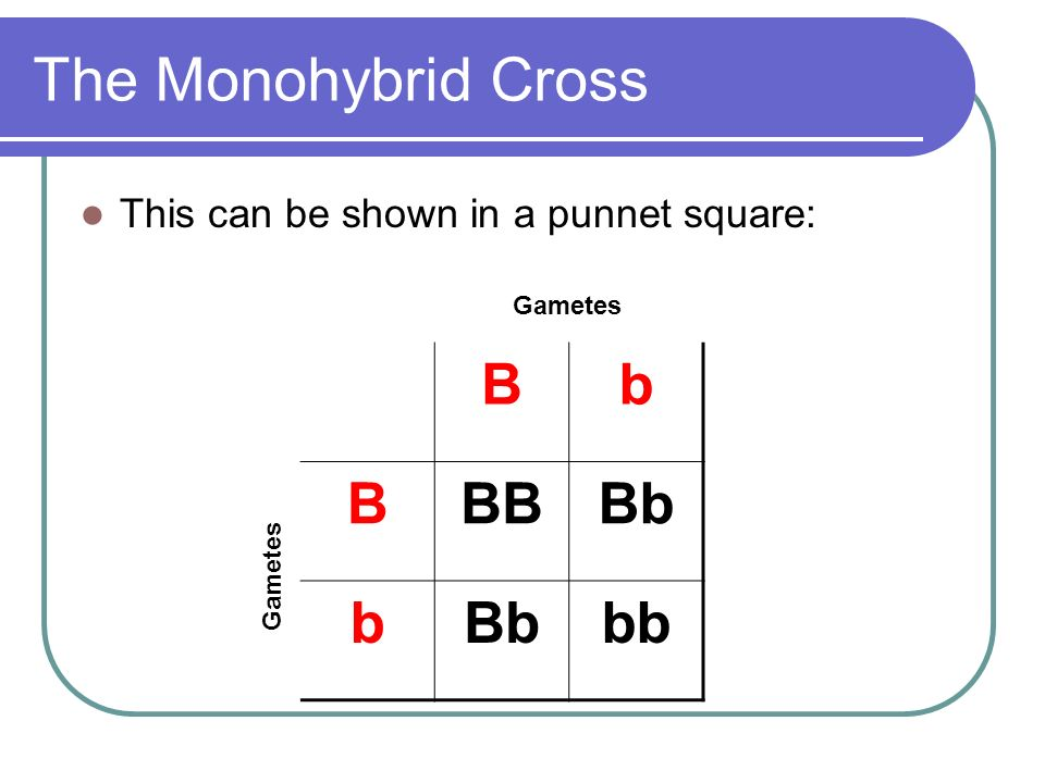 The Monohybrid Cross B b BB Bb bb
