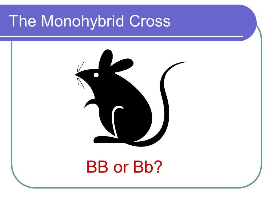 The Monohybrid Cross BB or Bb