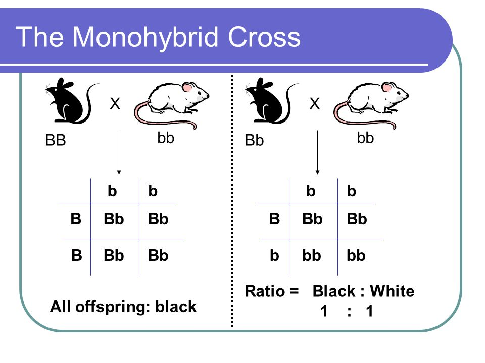 The Monohybrid Cross B b Bb All offspring: black bb