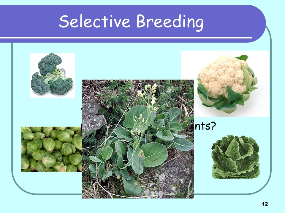 Selective Breeding What is the original parent of all these plants