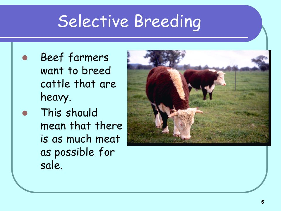 Selective Breeding Beef farmers want to breed cattle that are heavy.