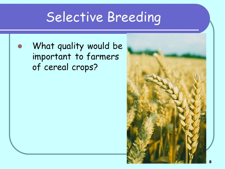 Selective Breeding What quality would be important to farmers of cereal crops
