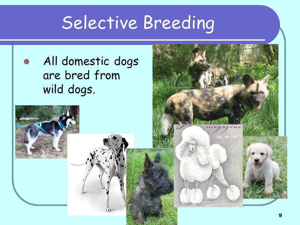 Selective Breeding All domestic dogs are bred from wild dogs.