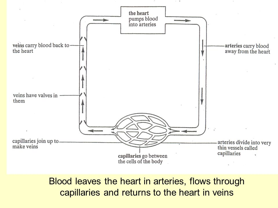 Blood leaves the heart in arteries, flows through capillaries and returns to the heart in veins