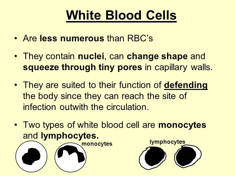White Blood Cells Are less numerous than RBC's