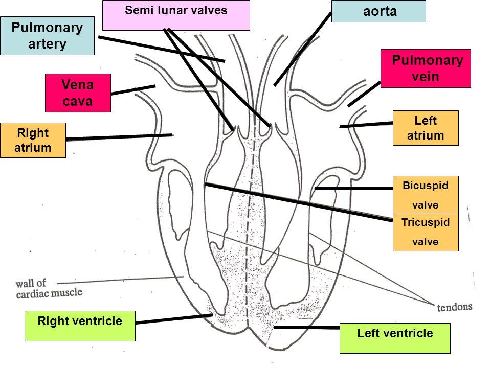 aorta Pulmonary artery Pulmonary vein Vena cava