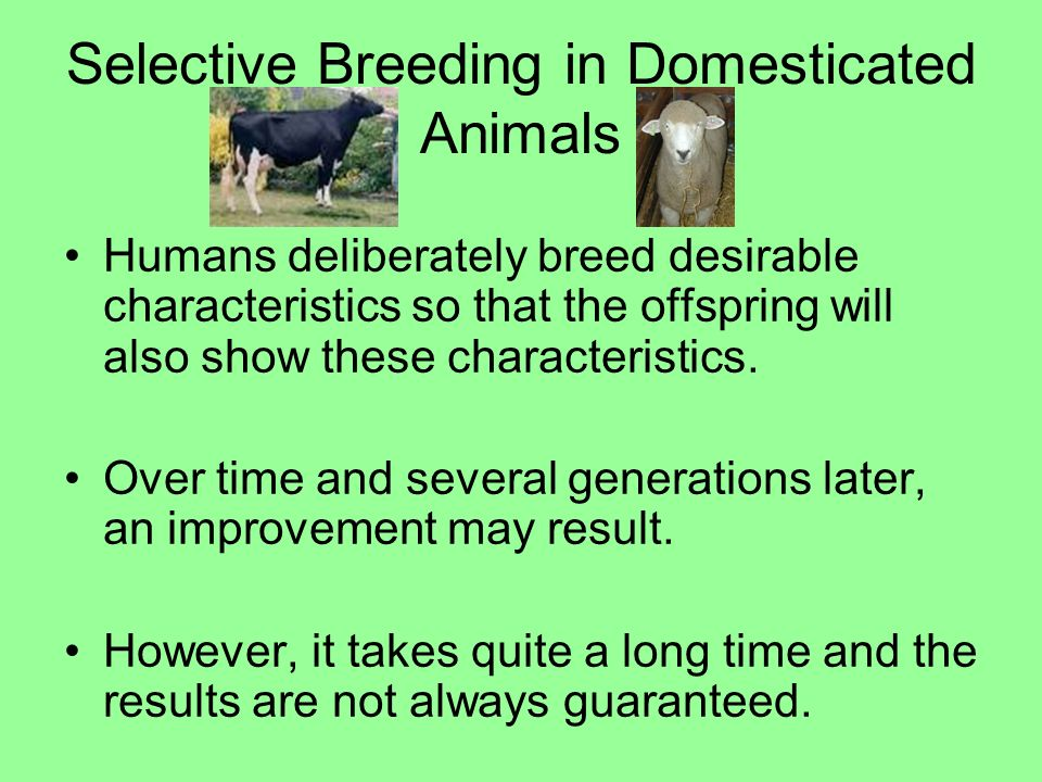 Selective Breeding in Domesticated Animals