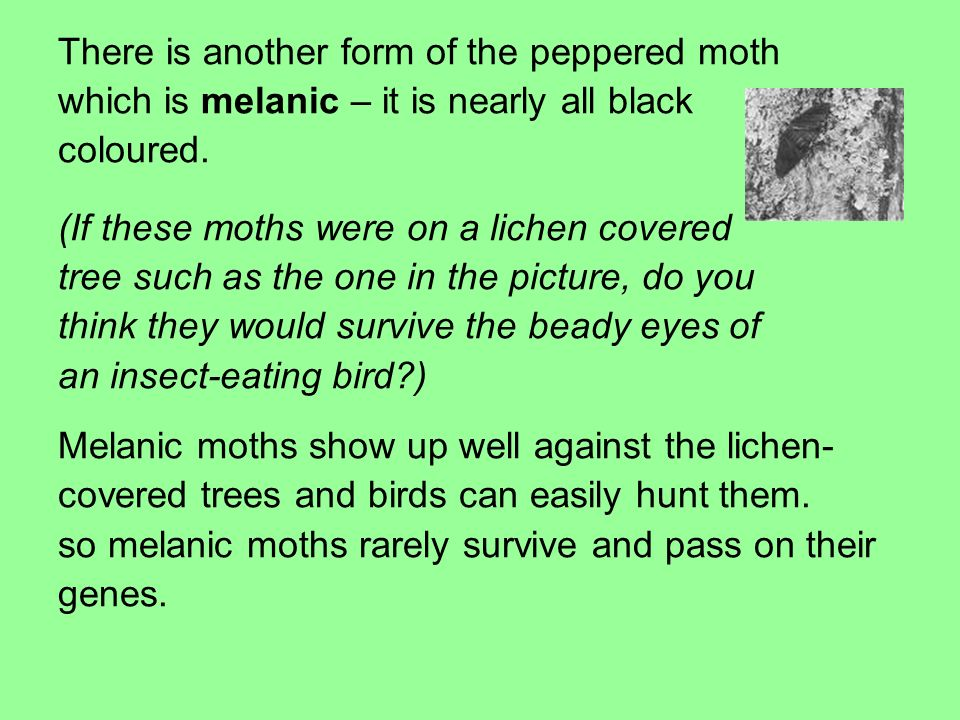 There is another form of the peppered moth