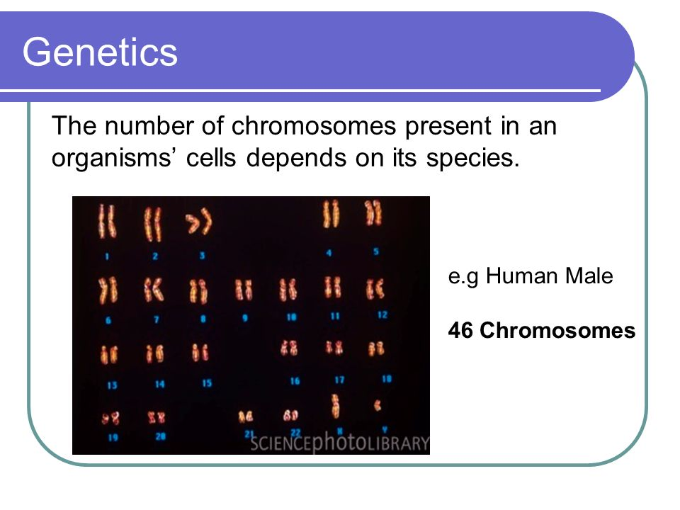 Genetics The number of chromosomes present in an organisms' cells depends on its species. e.g Human Male.