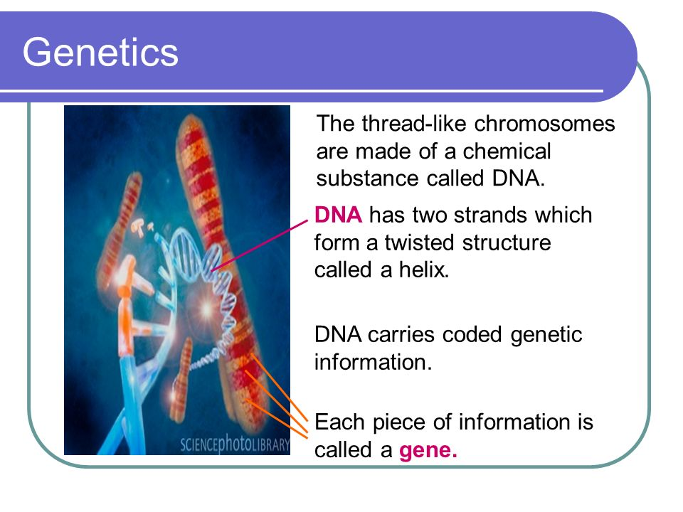 Genetics The thread-like chromosomes are made of a chemical substance called DNA. DNA has two strands which form a twisted structure called a helix.