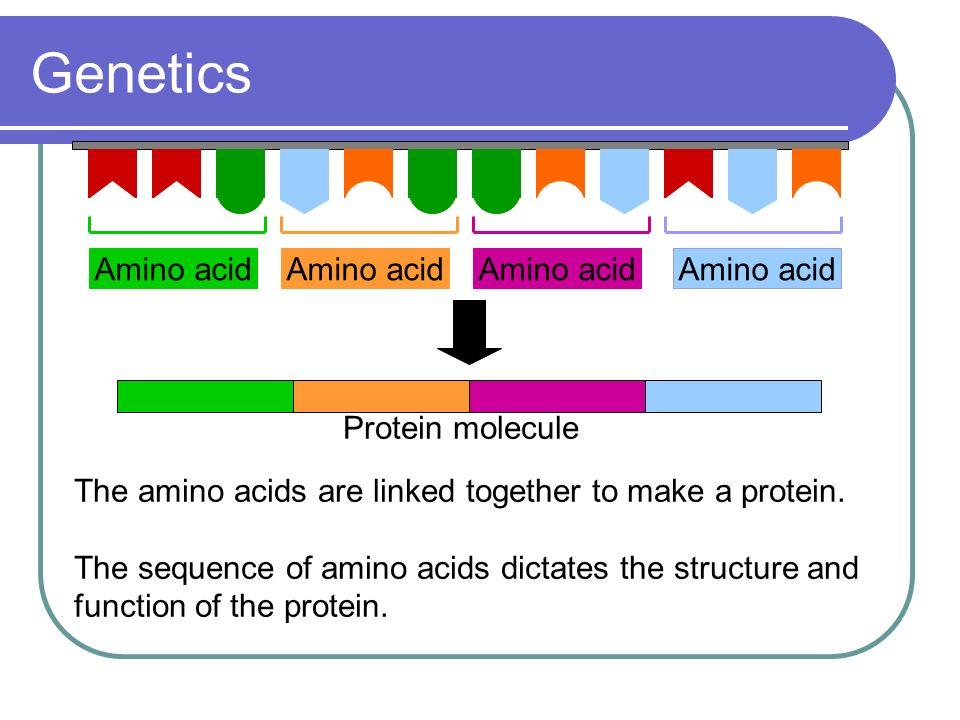 Genetics Amino acid Amino acid Amino acid Amino acid Protein molecule