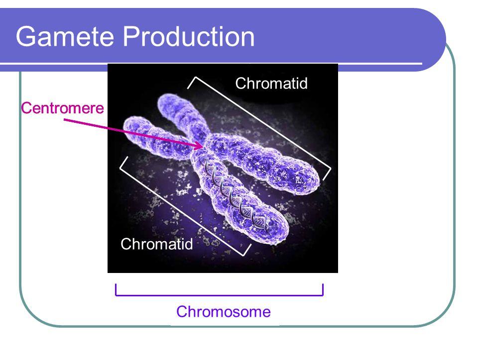 Gamete Production Chromatid Centromere Chromatid Chromosome