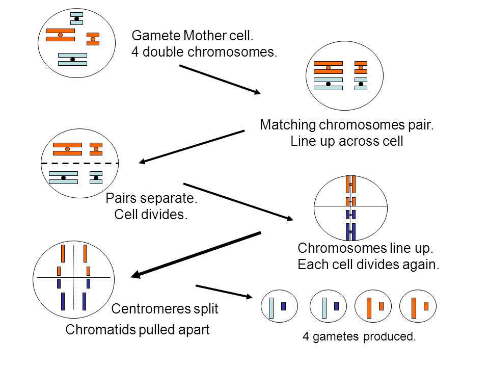 Matching chromosomes pair.