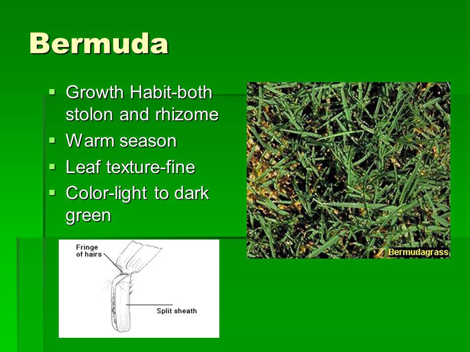 Bermuda Growth Habit-both stolon and rhizome Warm season