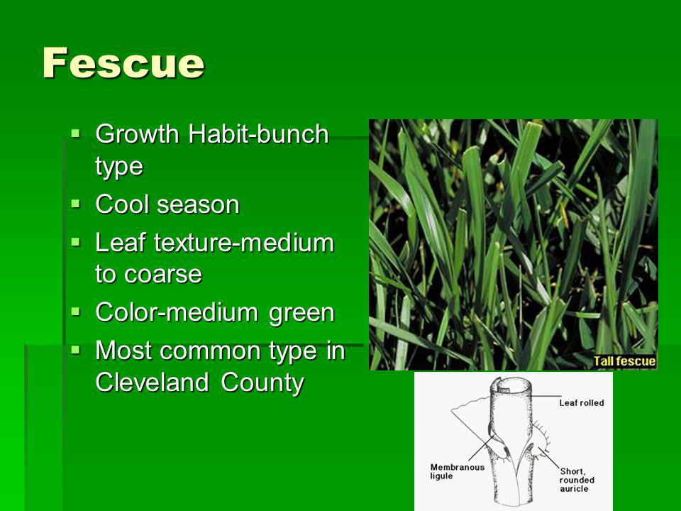 Fescue Growth Habit-bunch type Cool season