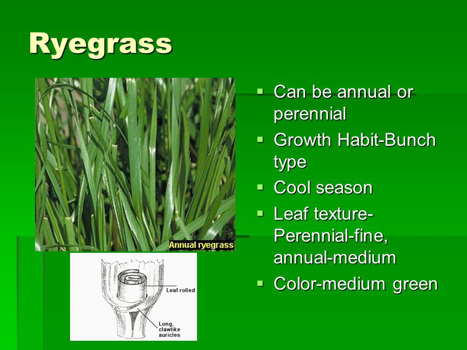 Ryegrass Can be annual or perennial Growth Habit-Bunch type