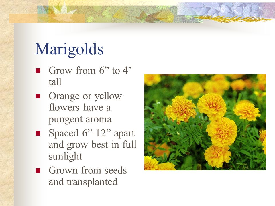 Marigolds Grow from 6 to 4' tall
