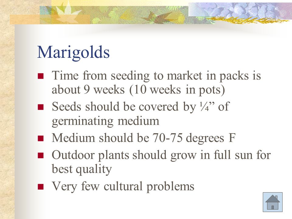 Marigolds Time from seeding to market in packs is about 9 weeks (10 weeks in pots) Seeds should be covered by ¼ of germinating medium.