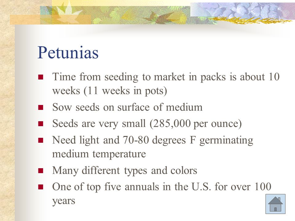 Petunias Time from seeding to market in packs is about 10 weeks (11 weeks in pots) Sow seeds on surface of medium.