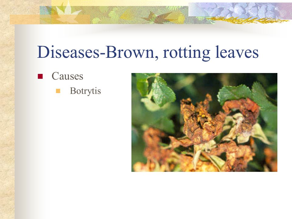 Diseases-Brown, rotting leaves