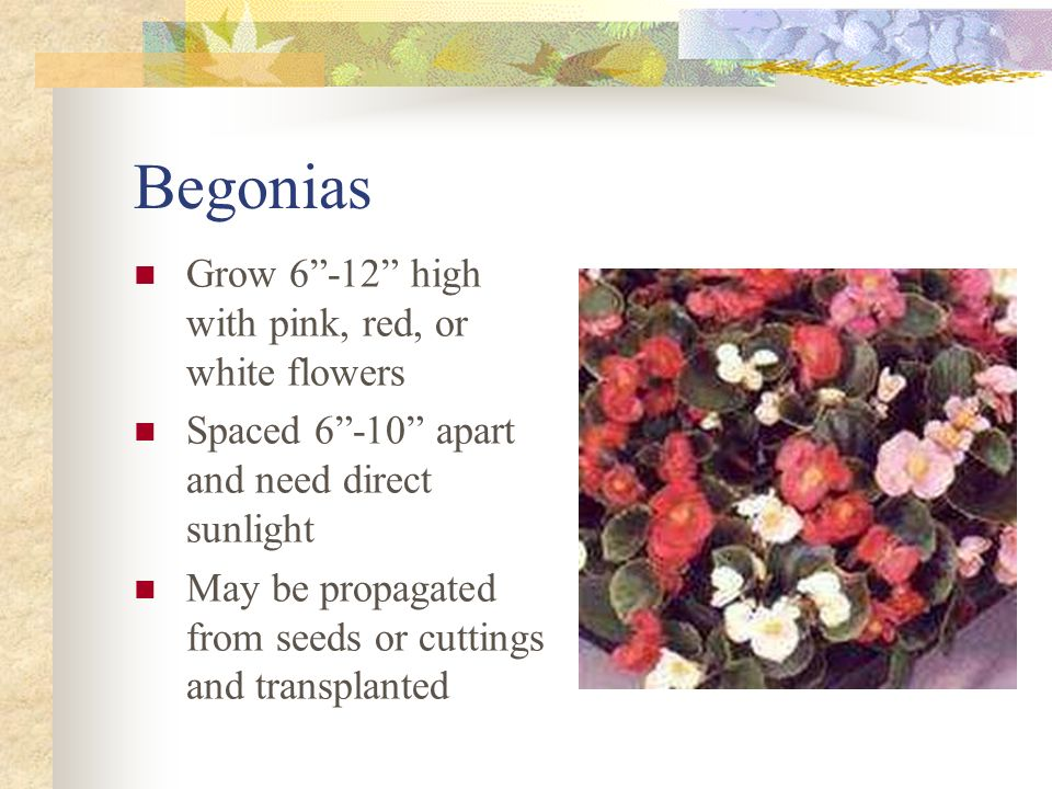 Begonias Grow high with pink, red, or white flowers