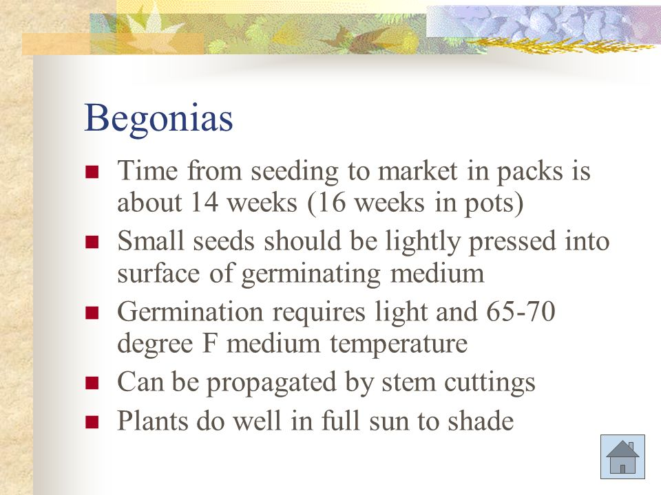 Begonias Time from seeding to market in packs is about 14 weeks (16 weeks in pots)