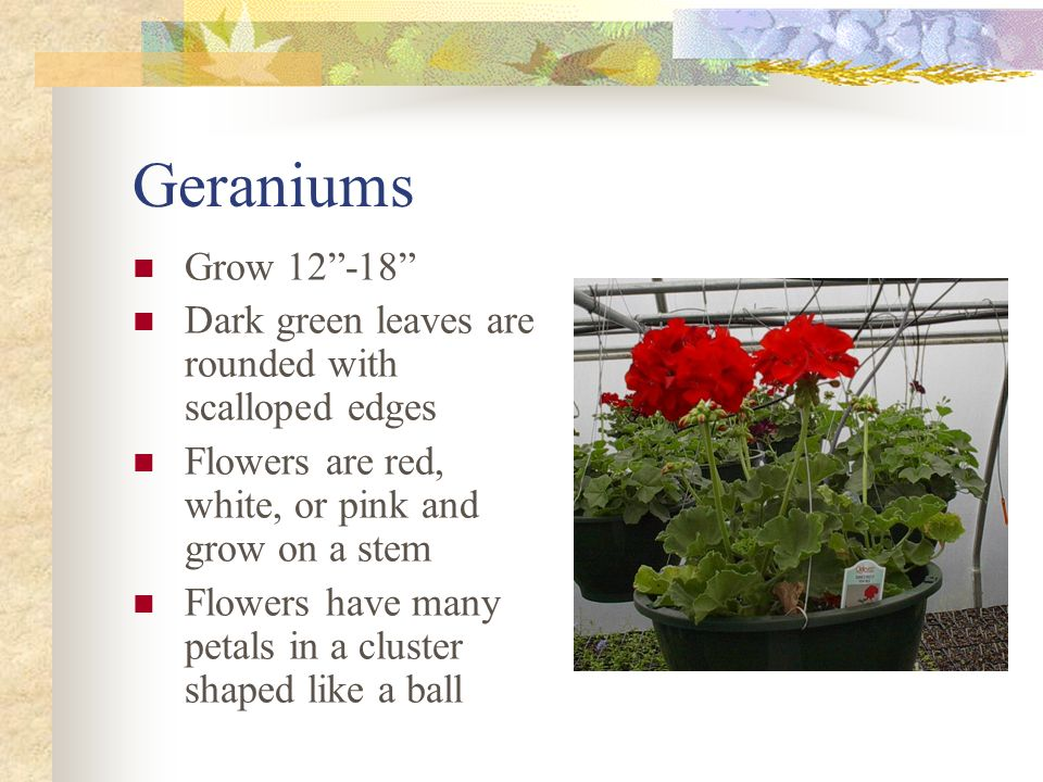 Geraniums Grow 12 -18 Dark green leaves are rounded with scalloped edges. Flowers are red, white, or pink and grow on a stem.