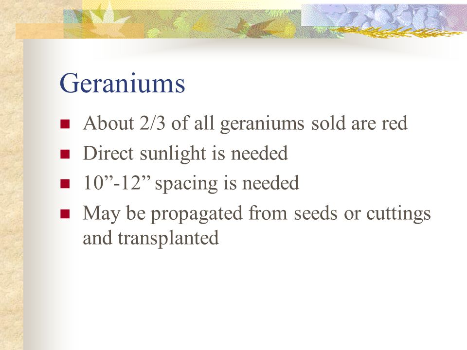Geraniums About 2/3 of all geraniums sold are red