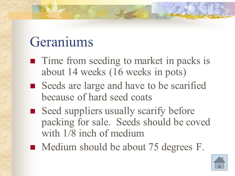 Geraniums Time from seeding to market in packs is about 14 weeks (16 weeks in pots)