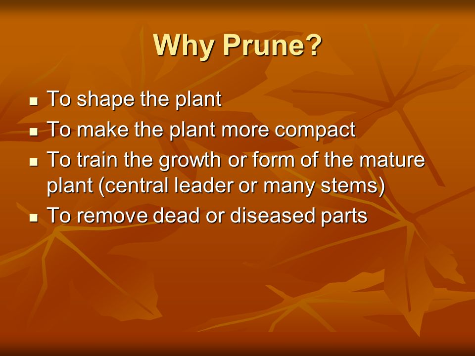 Why Prune To shape the plant To make the plant more compact