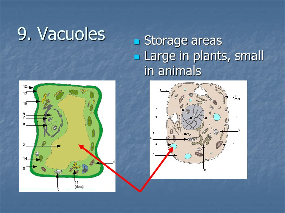 9. Vacuoles Storage areas Large in plants, small in animals