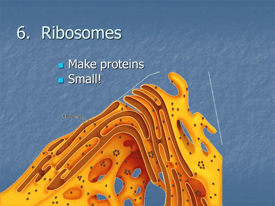 6. Ribosomes Make proteins Small!