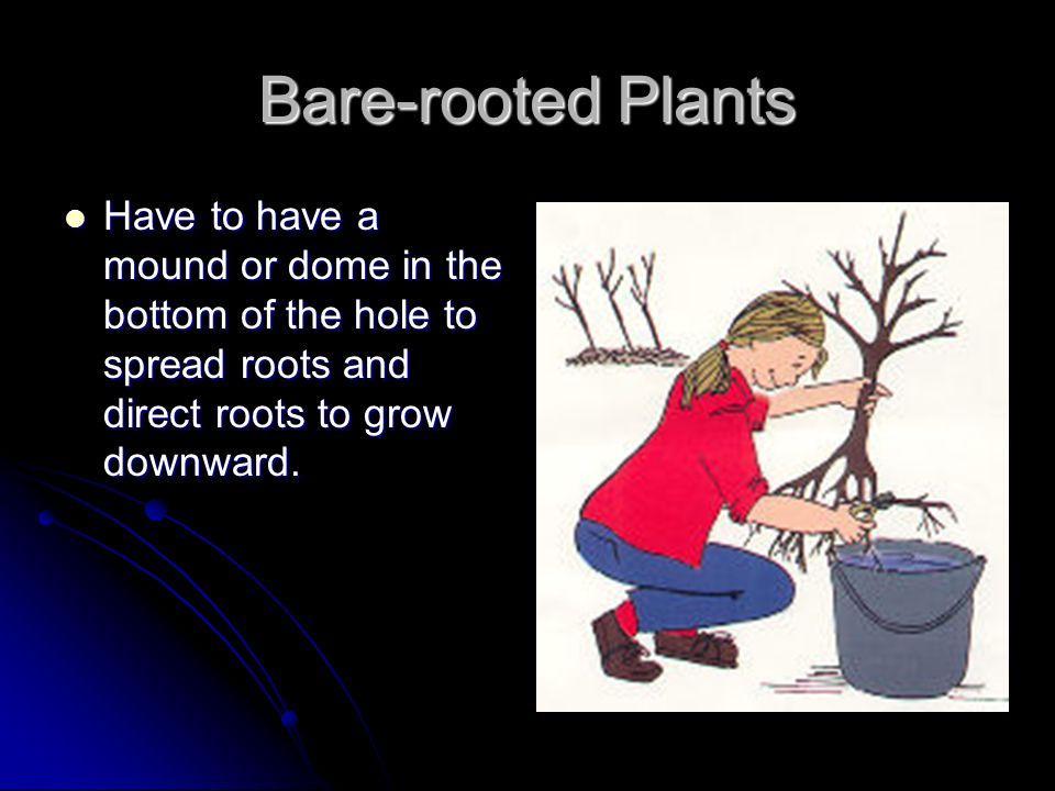 Bare-rooted Plants Have to have a mound or dome in the bottom of the hole to spread roots and direct roots to grow downward.