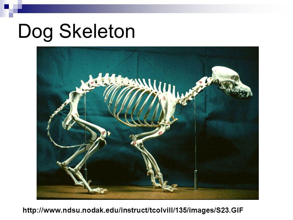 Dog Skeleton http://www.ndsu.nodak.edu/instruct/tcolvill/135/images/S23.GIF