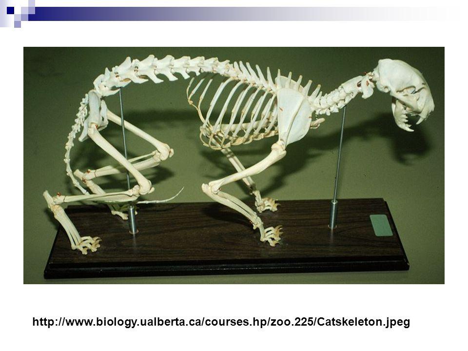 http://www. biology. ualberta. ca/courses. hp/zoo. 225/Catskeleton