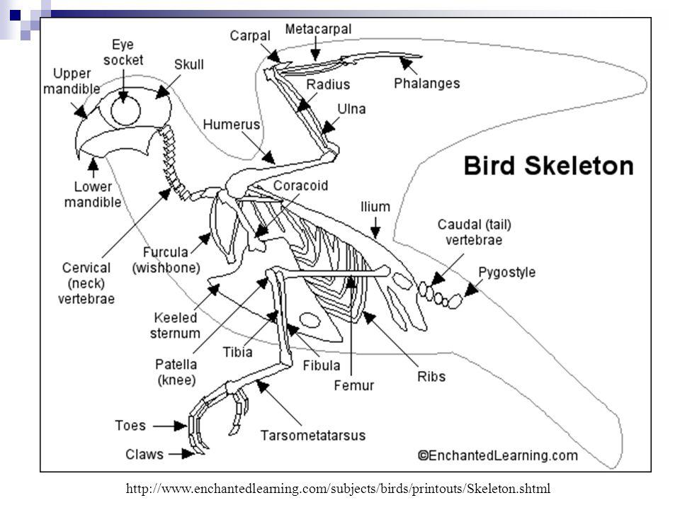 http://www. enchantedlearning. com/subjects/birds/printouts/Skeleton