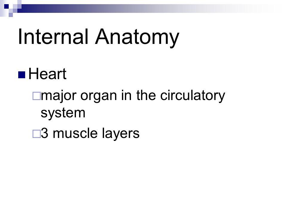 Internal Anatomy Heart major organ in the circulatory system