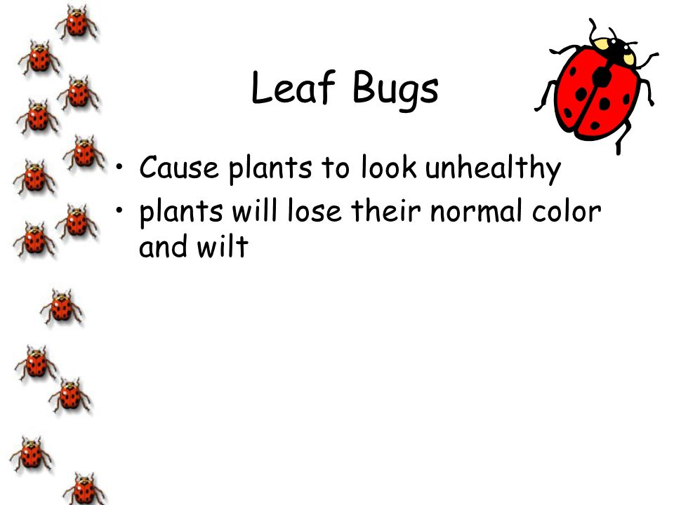 Leaf Bugs Cause plants to look unhealthy