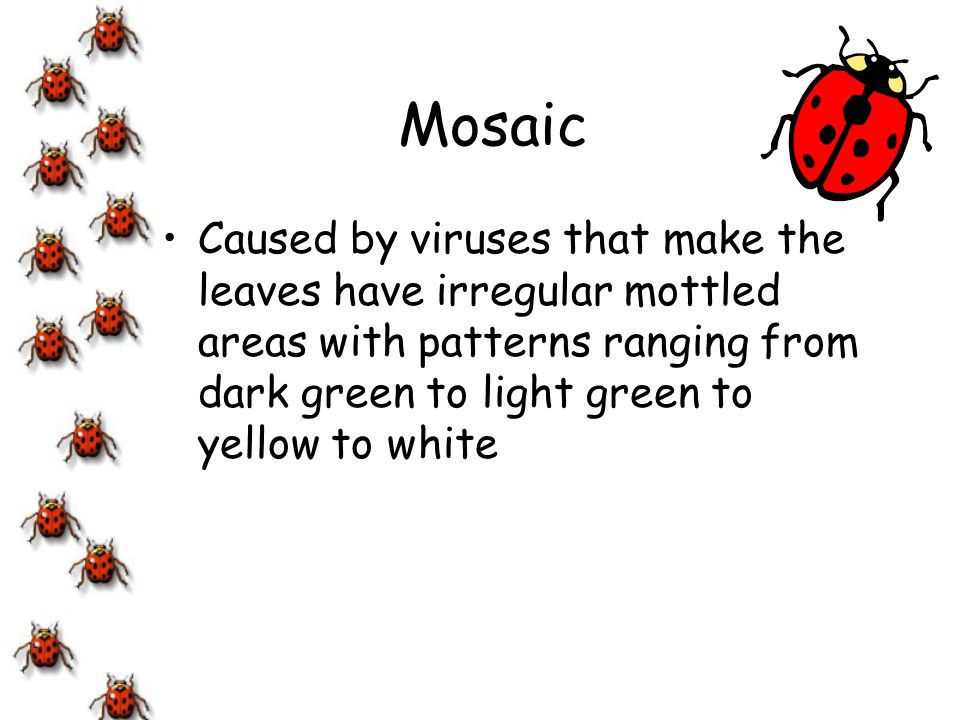 Mosaic Caused by viruses that make the leaves have irregular mottled areas with patterns ranging from dark green to light green to yellow to white.