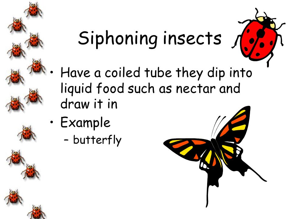 Siphoning insects Have a coiled tube they dip into liquid food such as nectar and draw it in. Example.
