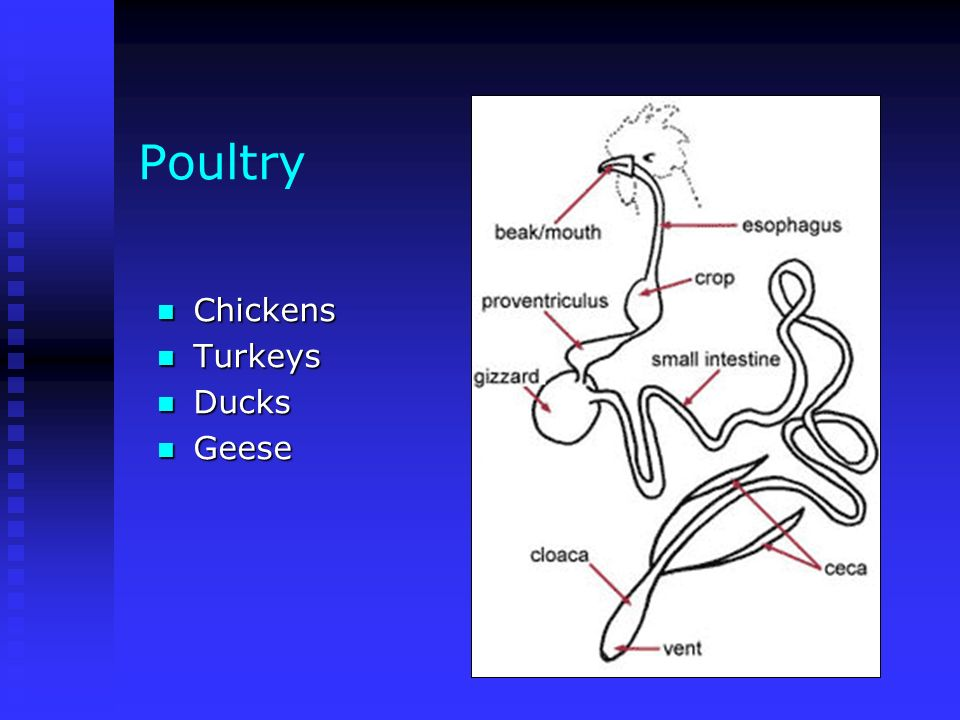 Poultry Chickens Turkeys Ducks Geese