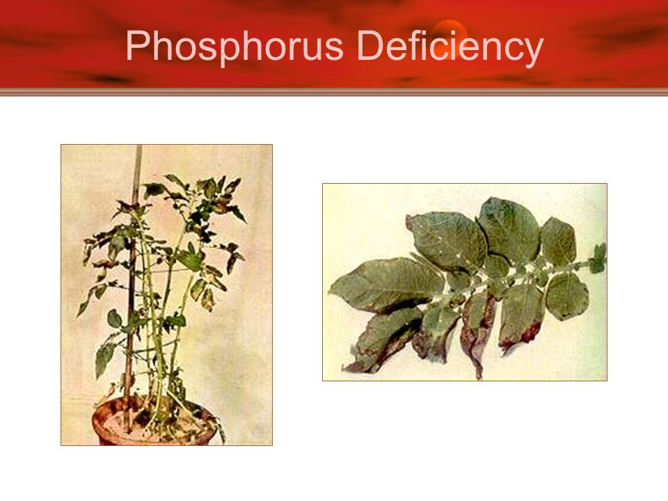 Phosphorus Deficiency