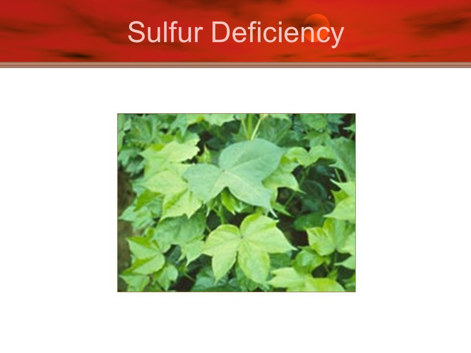 Sulfur Deficiency
