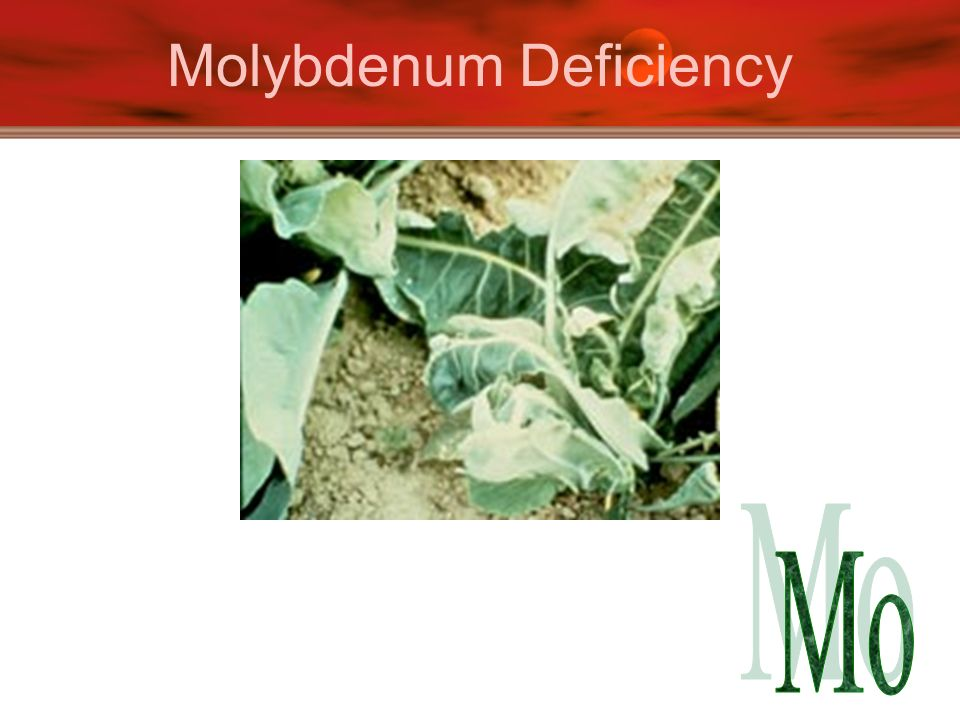 Molybdenum Deficiency